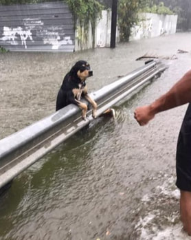 Lost dog being rescued during Hurricane.