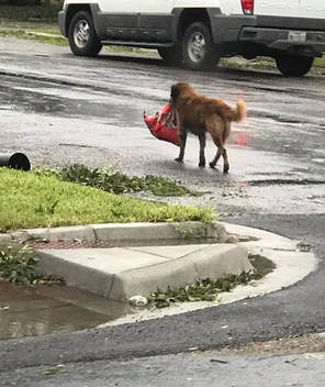 Otis the dog carrying food during Hurricane Harvey.